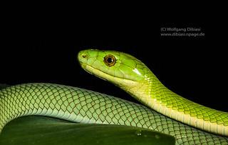 Grüne Mamba, Green manba (Dendroaspis angusticeps)