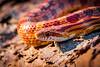 Corn Snake-6527-2