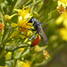 Small photo of Sphecidae. Podalonia tidei