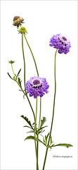 Scabiosa astropurpurea by June Hill