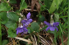 Wild Violets at Aira Force