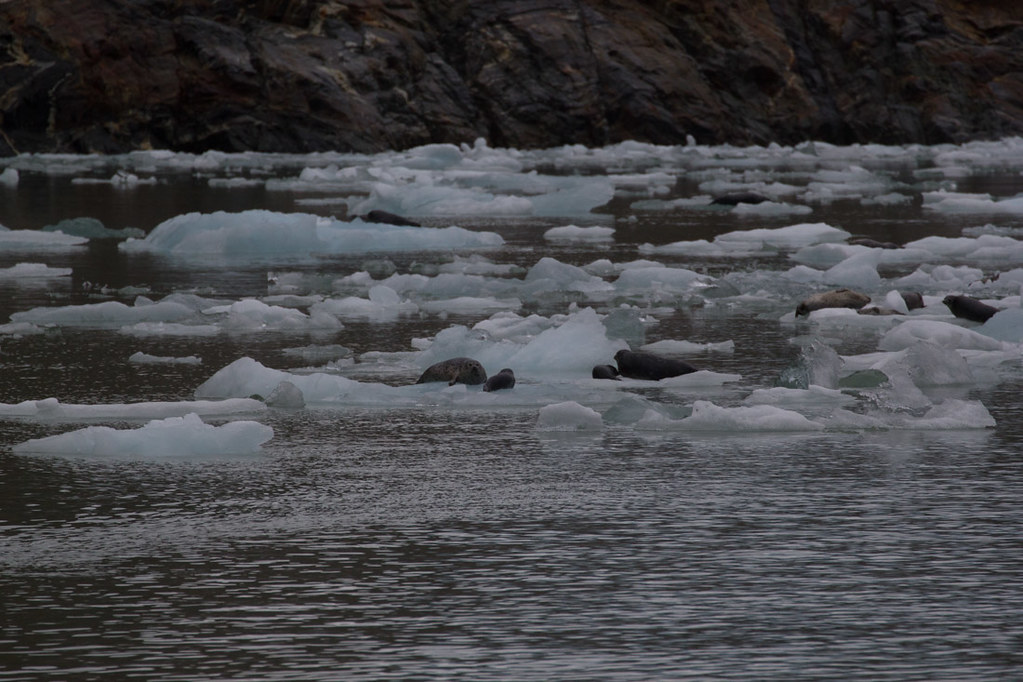 Seals and Seal Pups in Tracy Arm Fjord | Alaska Cruise