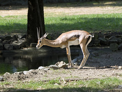Memphis Zoo 08-31-2016 - Grants Gazelle 17