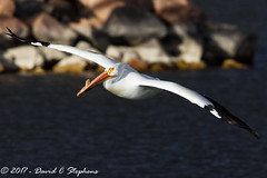 Pelican Glides