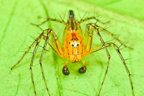 Oxyopidae, Hamataliwa sp.