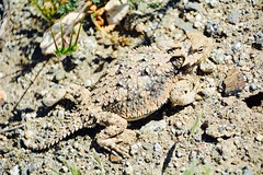 Flat-tailed Horned Lizard - Mojave Desert California