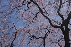 日, 2017-04-02 12:21 - Brooklyn Botanical Garden
