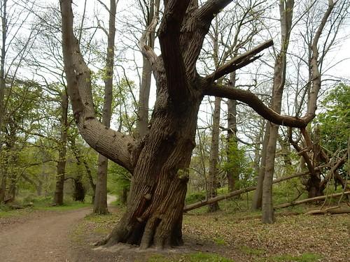 Big chestnut