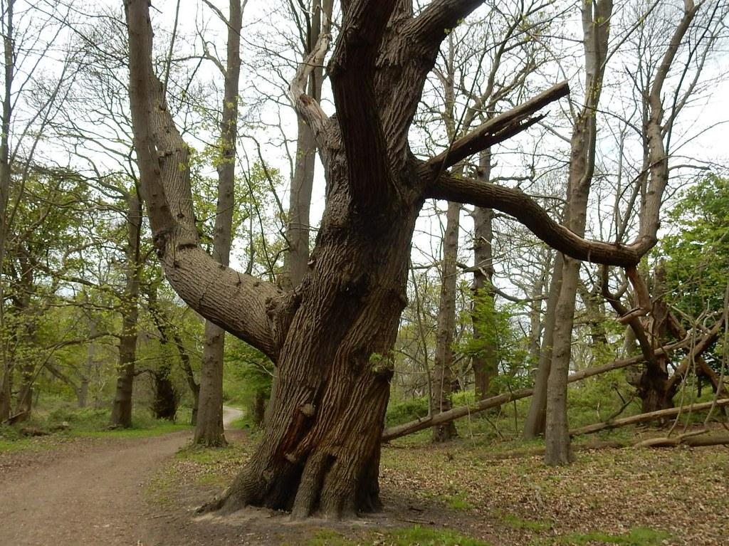 Big chestnut Cuxton Circular