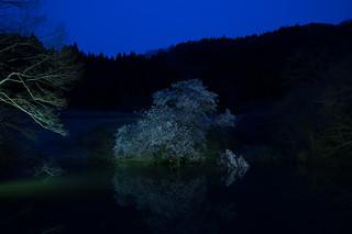 鏡桜 (Fukushima)