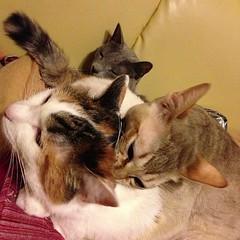 重なり合うネコたち