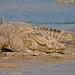 Marsh Mugger Crocodile