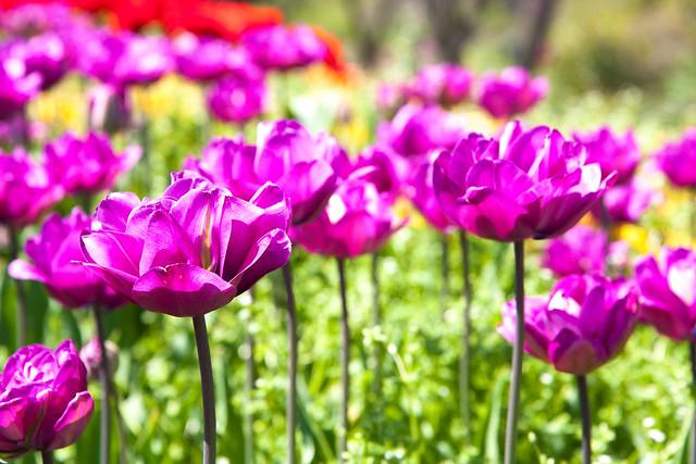 Tulips, Brooklyn Botanic Garden