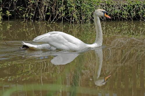 Mute Swan by TonyKRO