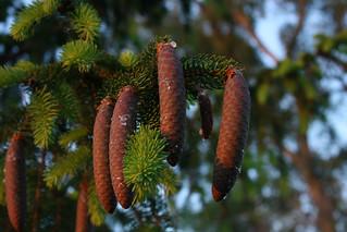 Immature pinecones