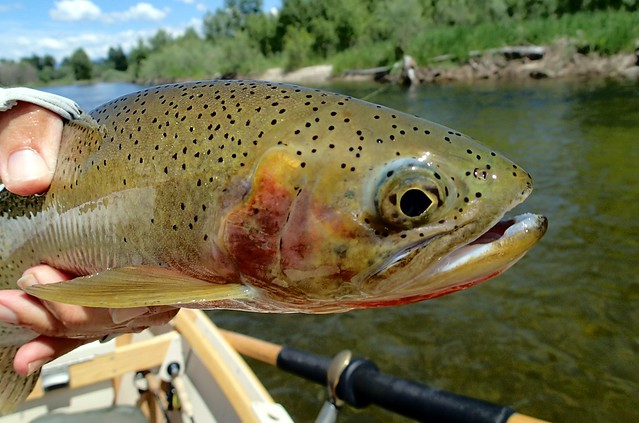 West slope cutthroat