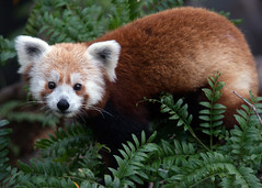 Smithsonian's National Zoo Red Panda Rusty