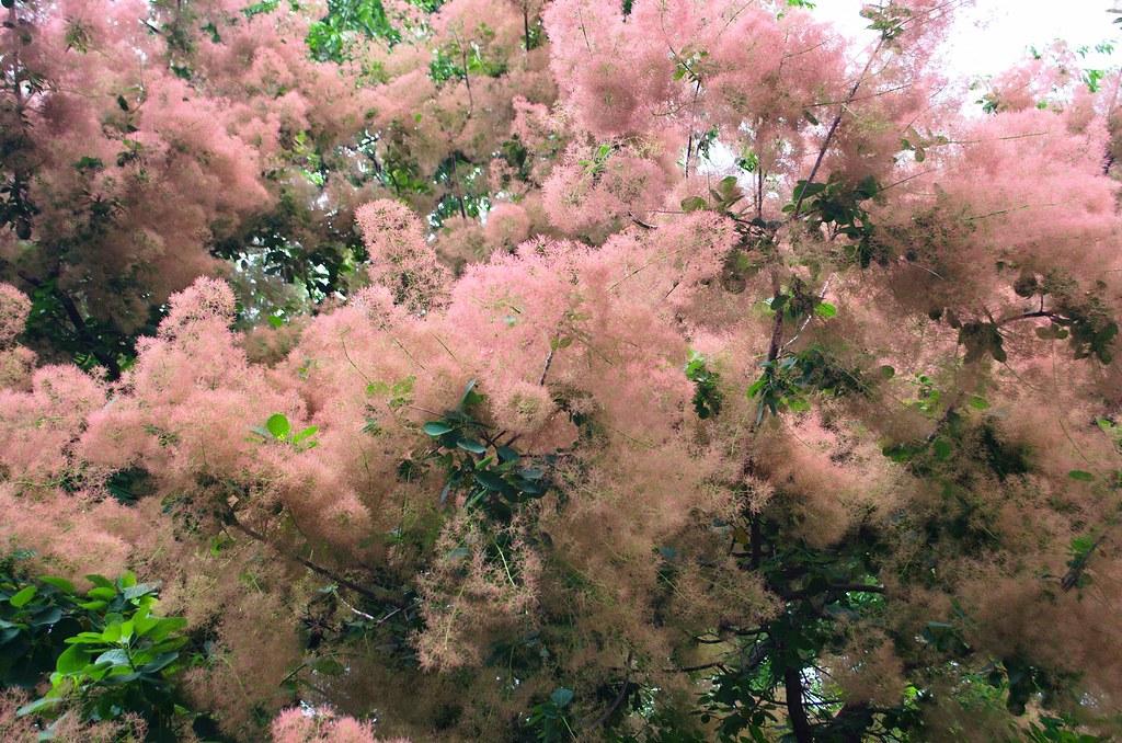 smoke tree 20130602-DSC_3042.jpg