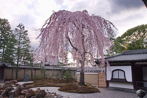 【写真】桜 : 高台寺