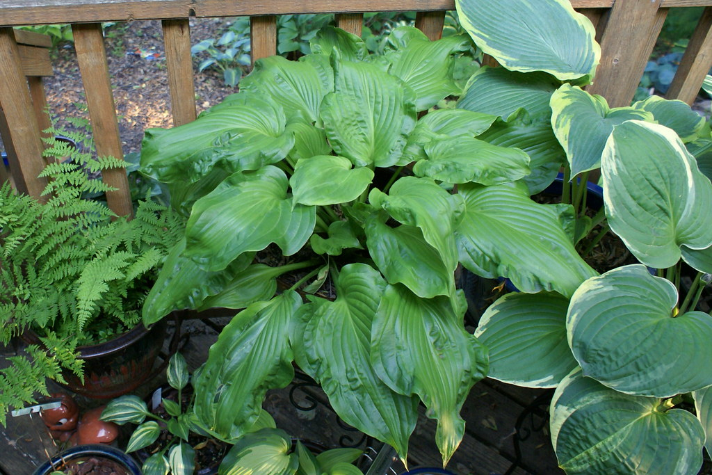 Hosta 'Embroidery' (2011)-002