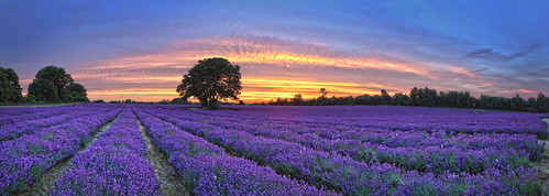 sunset field purple farm ngc lavender mayfield banstead