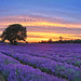 Mayfield lavender banstead. (explored) by Glenn 07