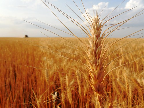 Wheat head