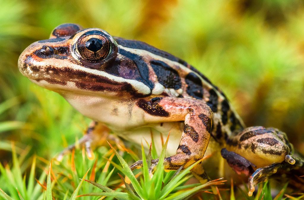Leopard Frog?