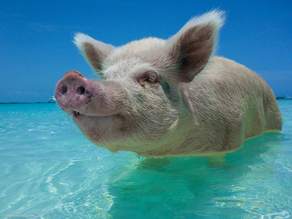 swimming-pigs--exumas-bahamas