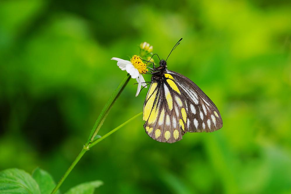 豔粉蝶屬條斑豔粉蝶-1