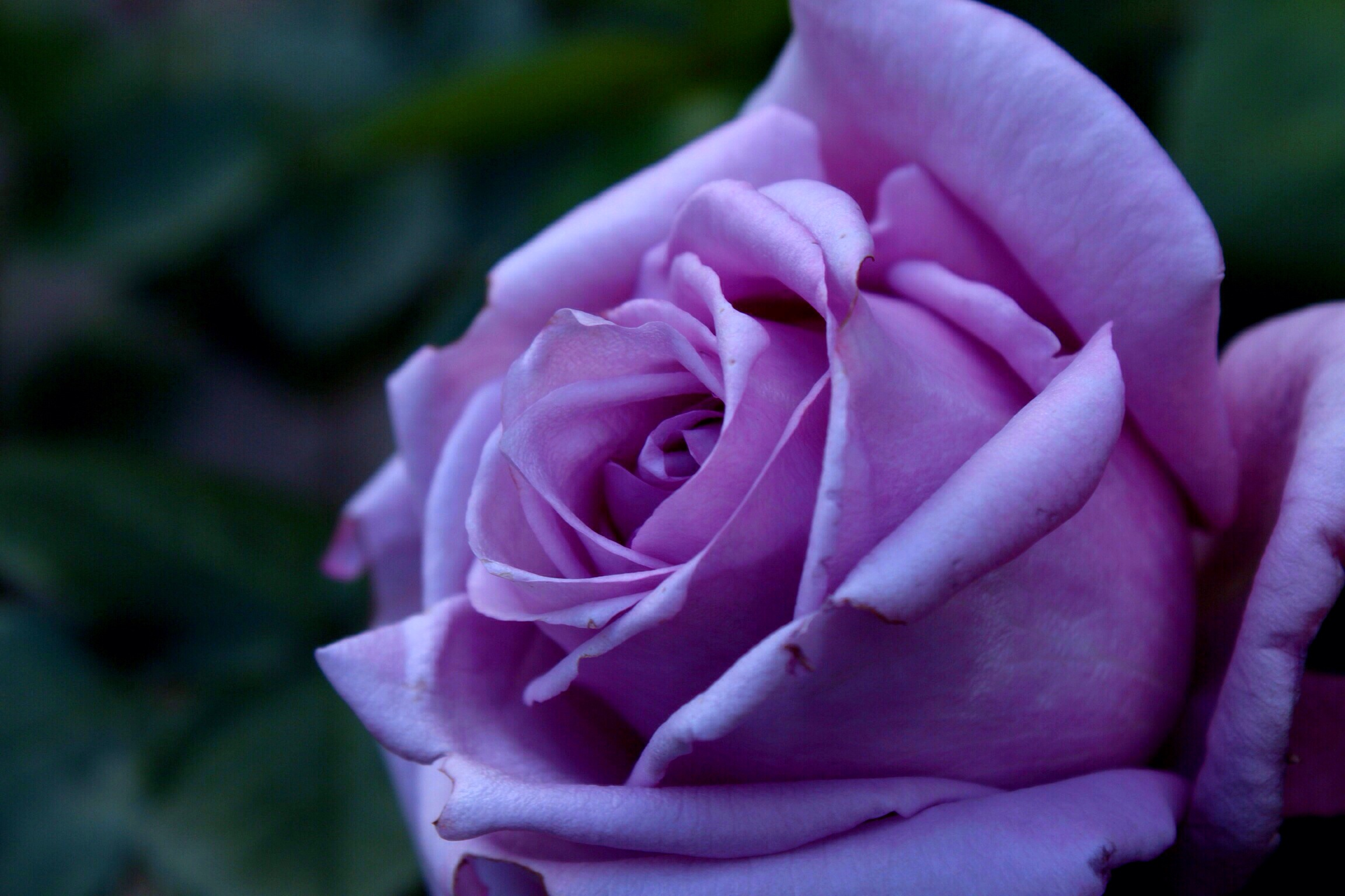 Single Purple Rose Pic...