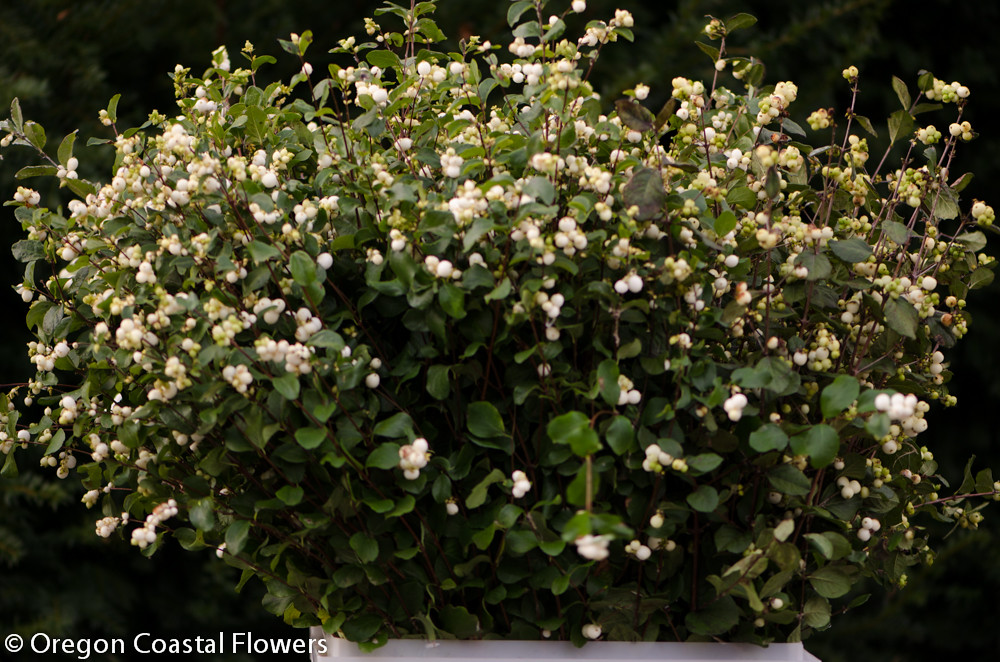 snowberry white