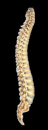 columnavertebralperfil