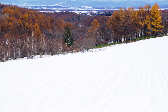 初冬のカラ松4