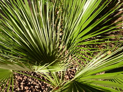 arecales, borassus flabellifer, leaf, tree, plant, flora, green, saw palmetto, plant stem, vegetation,