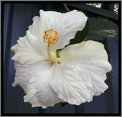 White Hibiscus-1=