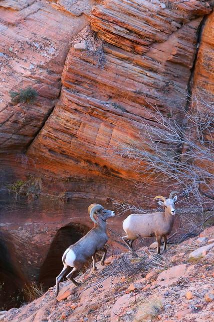 IMG_7278 Desert Bighorn Sheep
