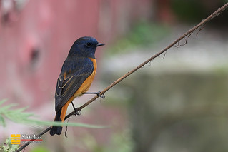 蓝额红尾鸲 Blue-fronted Redstart