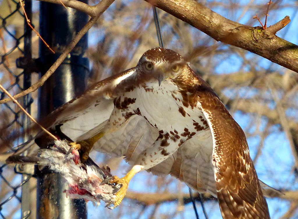 Red tail with pigeon in Tompkins Square
