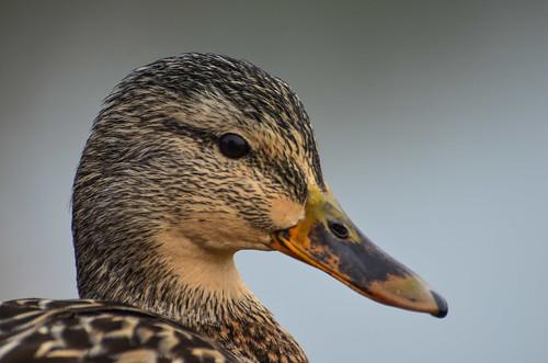 <p><i>Anas platyrhynchus</i>, Anatidae<br /> George C. Reifel Migratory Bird Sanctuary, Delta, British Columbia, Canada<br /> Nikon D5100, 70-300 mm f/4.5-5.6<br /> January 24, 2014</p>