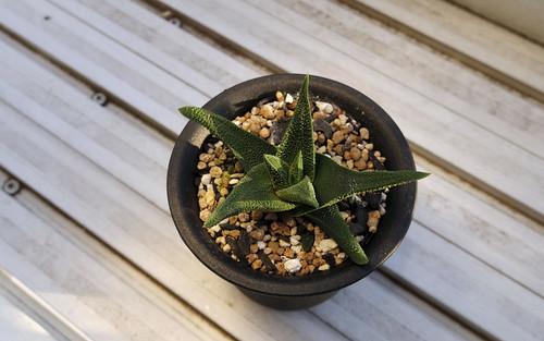 Haworthia scabra (Haworthia tuberculata var. subexpansa) by port4dmsq