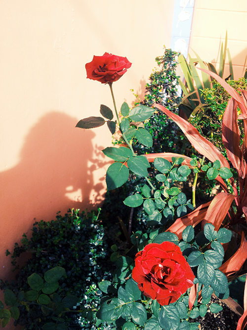 red roses in cabangan zambales