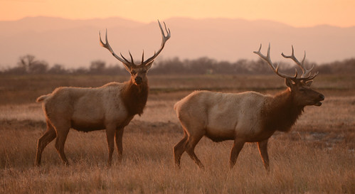 california ca sunset animal san wildlife central valley luis elk refuge tule canadensis cervus naitonal nannodes
