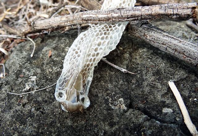 snake-shed-skin