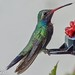 Broad-billed Hummingbird - Photo (c) D. Alexander Carrillo Mtz., some rights reserved (CC BY)