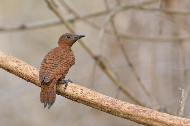 Rufous woodpecker [Explore]
