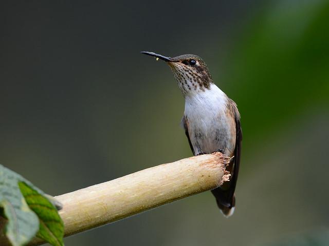 Chispita volcanera // Volcano Hummingbird
