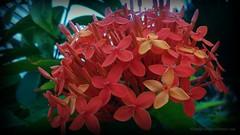 red geraniums 2
