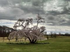 Prunus yedoensis (Yoshino cherry, Japanese flowering cherry) and Capitol Columns under gray skies, Flowering Tree Walk (FTW-NE), US National Arboretum