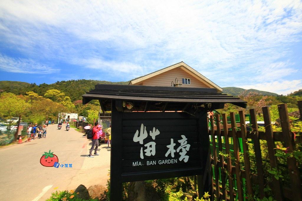 陽明山竹子湖 海芋 苗榜